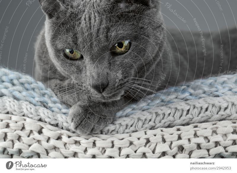 Russian Blue Cat Lifestyle Elegant Harmonious Well-being Relaxation Calm Living or residing Animal Pet Animal face 1 Blanket knitted blanket Observe Looking