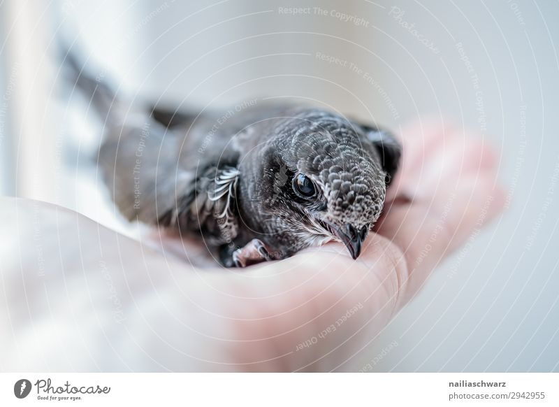 Common swift young bird Summer Hand Animal Wild animal Bird swifts 1 Baby animal Observe To hold on Looking Friendliness Small Curiosity Cute Gray