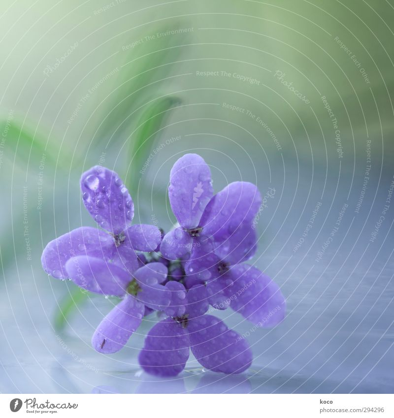 purple spring dream Environment Nature Plant Drops of water Spring Summer Flower Leaf Blossom Water Blossoming Growth Esthetic Simple Friendliness Happiness