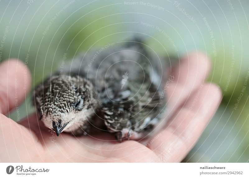 Swifts & Man Summer Hand Fingers 1 Human being Environment Nature Animal Bird Wing swifts Young bird Baby animal Relaxation To swing Sit Natural Soft