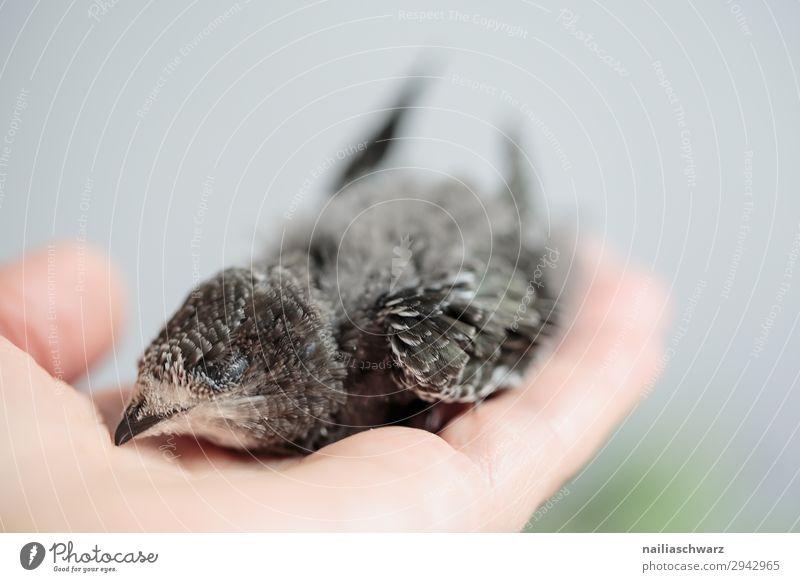 Hand Raised Young Swifts swift apus apus apus black martin eurasian swift young nestling fledgling juvenile abandoned hand raising hand raised flight summer