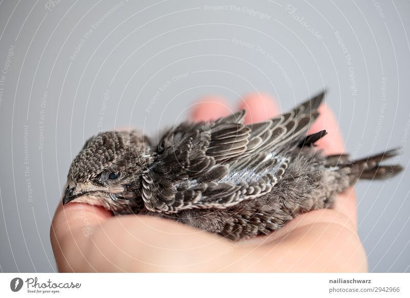 Common swift young bird Summer Hand Animal Wild animal Bird swifts Young bird 1 Baby animal To hold on Lie Small Cute Beautiful Gray White Power Trust
