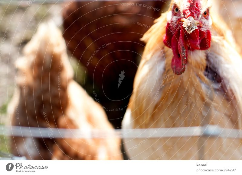 Animal Bright Moody Bird Dirty Group of animals Wing Animal face Farm Beak Aggression Farm animal Aggravation Country life Rooster Plumed