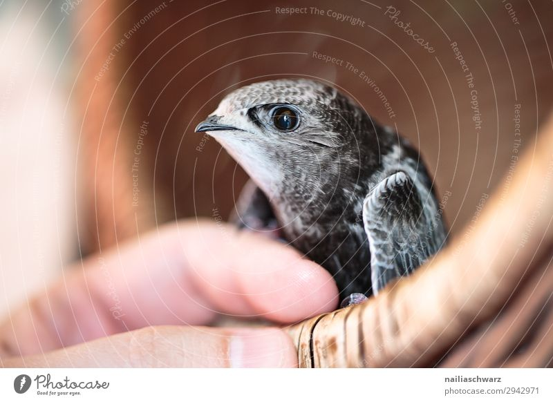 Common swift young bird Summer Human being Hand Fingers Animal Wild animal Bird Animal face Wing swifts 1 Baby animal Observe To hold on Crouch Looking Free