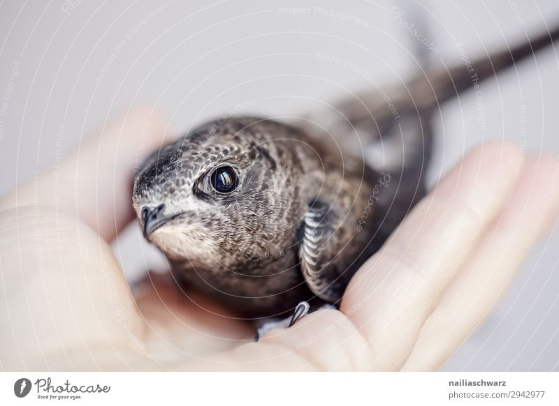 Common Swift Summer Hand Animal Bird Animal face swifts 1 Baby animal Observe To hold on Small Curiosity Cute Beautiful Wild Safety Protection