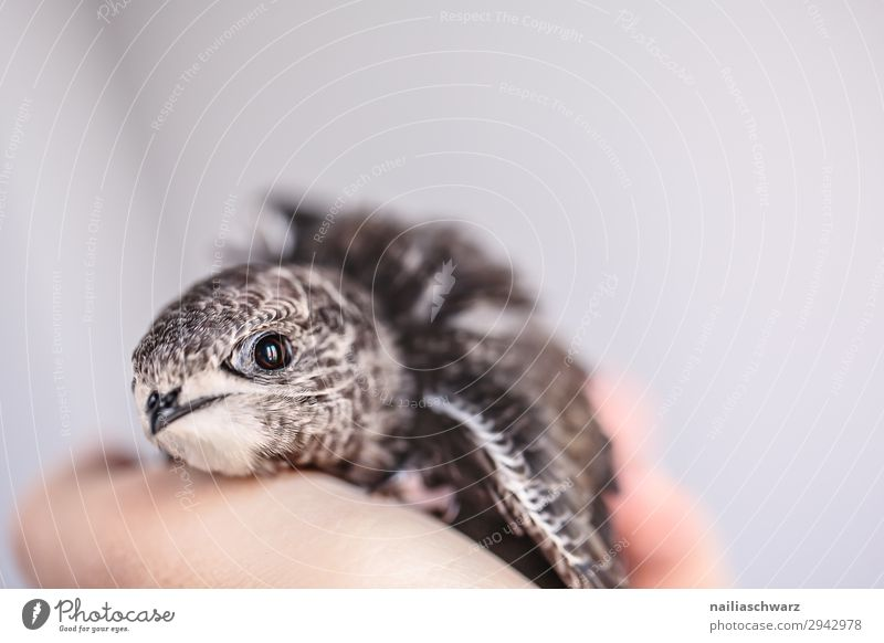 Common swift young bird Summer Hand Animal Wild animal Bird swifts 1 Baby animal Observe Discover Relaxation To hold on Communicate Looking Healthy Small