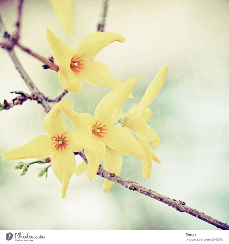 spring awakening Environment Nature Plant Bushes Blossom Forsythia blossom Blossoming Yellow Orange Turquoise Spring Delicate Branch Retro Colours Happiness