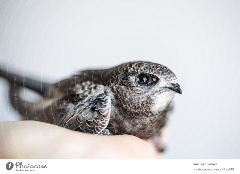 Common Swift Summer Hand Animal Wild animal Bird swifts Baby animal Observe To hold on Looking Growth Friendliness Natural Curiosity Cute Anticipation Trust