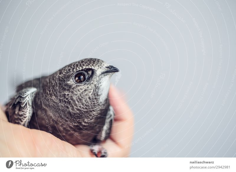 Common Swift Summer Hand Animal Wild animal Bird swifts 1 Baby animal Observe To hold on Crouch Lie Looking Natural Curiosity Cute Soft Gray Spring fever Trust