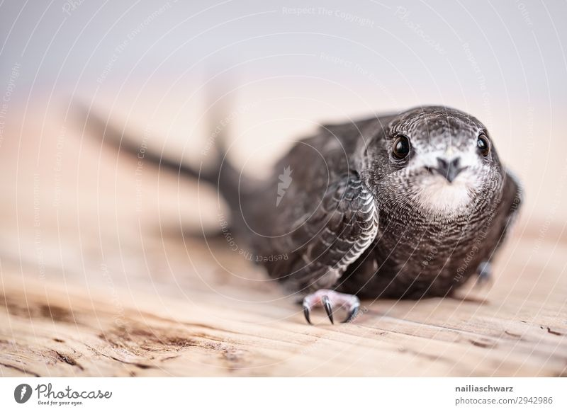Common Swift Summer Animal Wild animal Bird Animal face swifts Baby animal Observe Discover Crouch Looking Wait Natural Curiosity Cute Trust Safety Protection