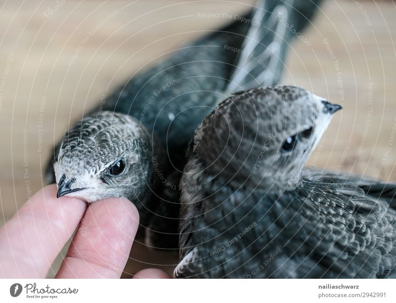 two swifts Summer Hand Fingers Animal Bird 2 Group of animals Baby animal Animal family Observe Discover Feeding Happiness Natural Curiosity Cute Sympathy