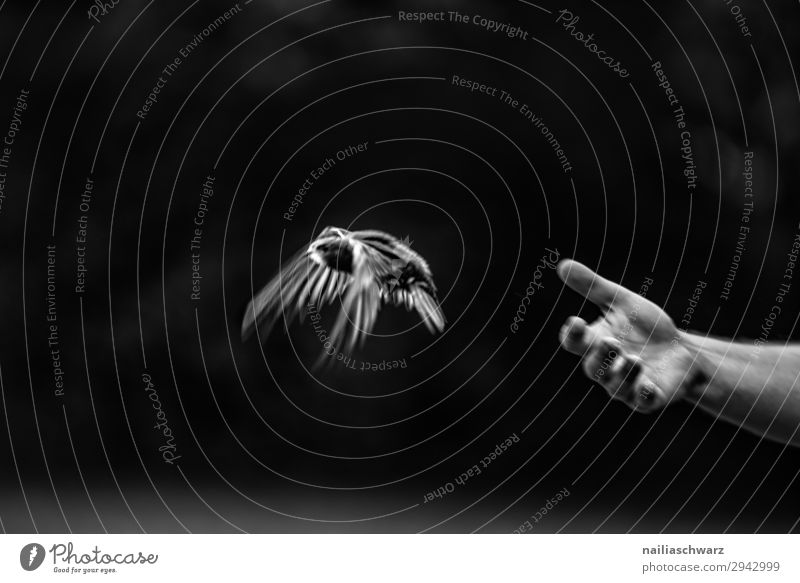Common Swift Summer Human being Hand Fingers Environment Nature Animal Bird swifts 1 Baby animal Flying Free Happy Infinity Natural Speed Moody Joy