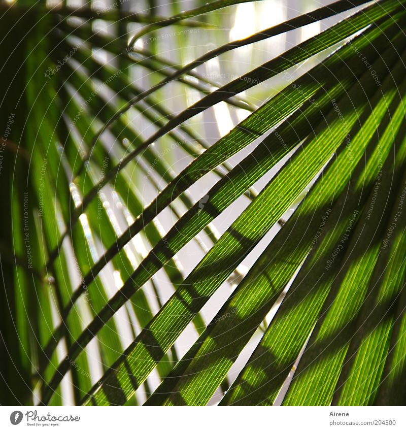 Las Palmas Vacation & Travel Summer Nature Plant Tree Leaf Foliage plant Palm tree Palm frond Colour Guide Reticular Fresh Natural Green Protection