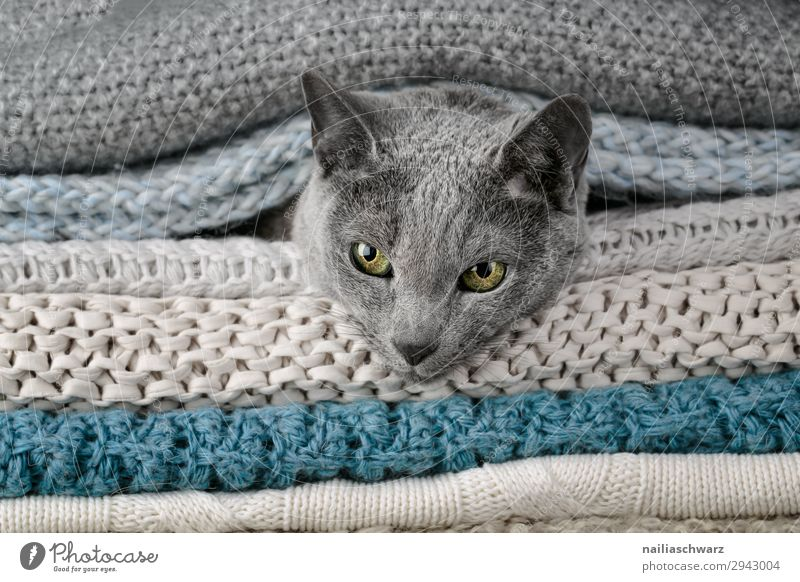 Russian Blue Cat Lifestyle Elegant Relaxation Living or residing Autumn Winter Animal Pet Animal face russian blue 1 Blanket Textiles Knitting pattern Rope