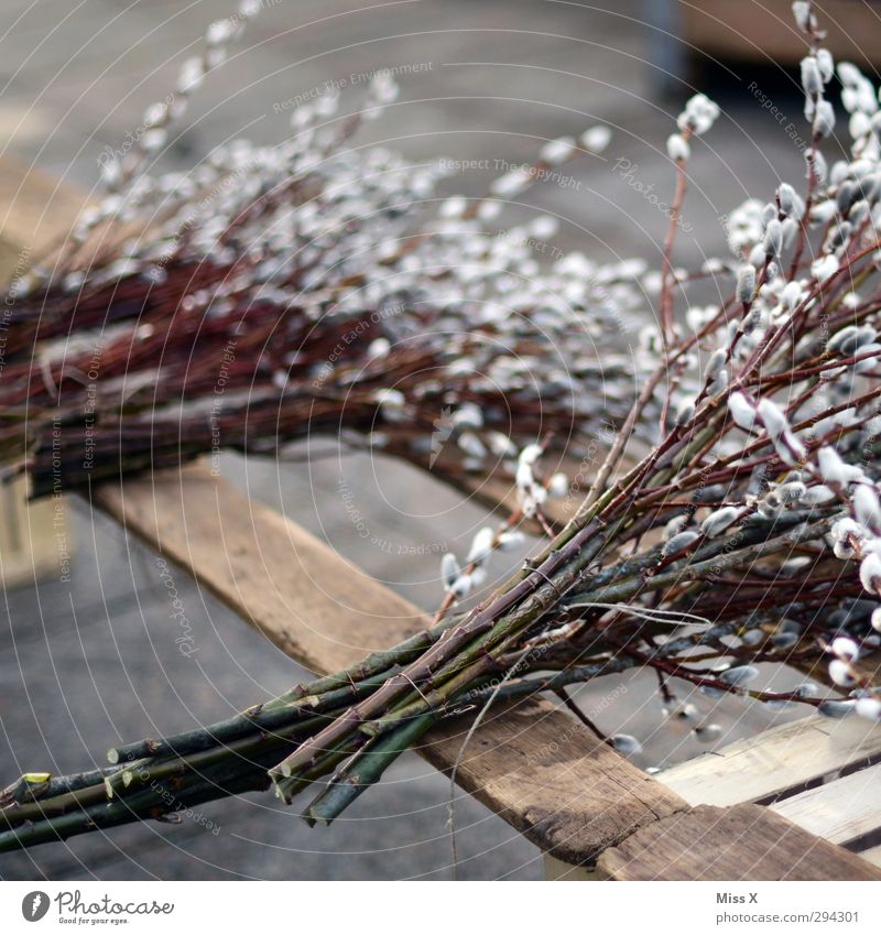 willow catkin Easter Spring Plant Bushes Blossom Blossoming Soft Catkin Goat willow Branch Twig Farmer's market Sell Bundle Florist Bouquet Spring flower