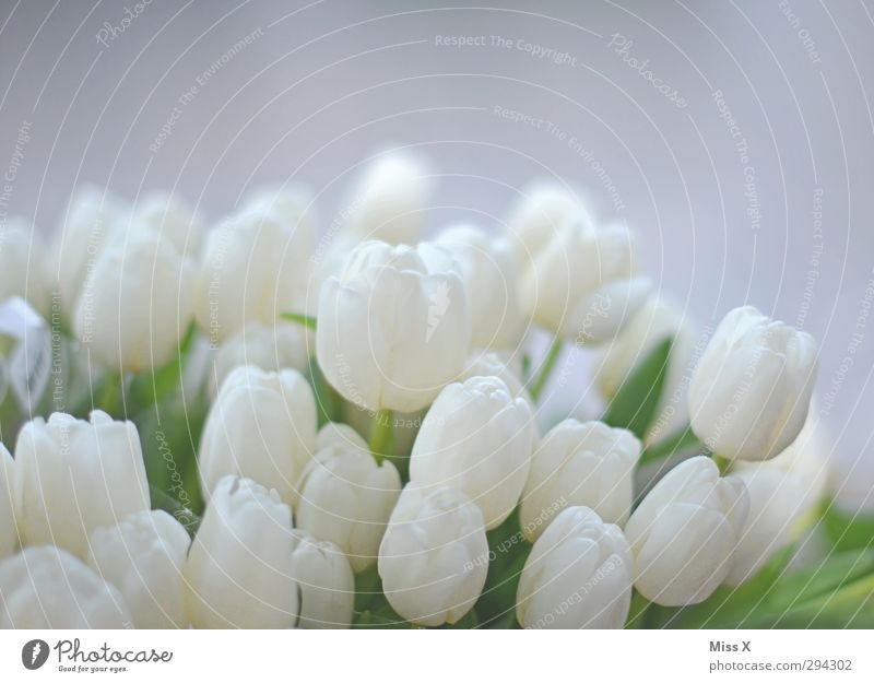 Soft Spring Flower Tulip Leaf Blossom Blossoming Fragrance White Tulip blossom Florist Bouquet Wedding Smooth Colour photo Close-up Deserted Copy Space top