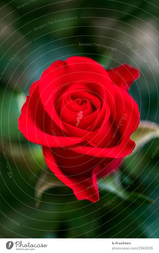 Red Rose Well-being Contentment Senses Calm Summer Flower Blossom Sign Select Relaxation Love Happiness Fresh Happy Beautiful Freedom Joy Peace Hope