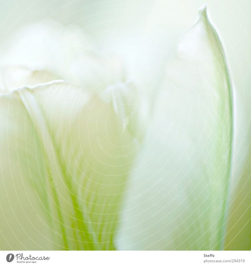 soft flowering tulip Tulip tulips differently Tulip blossom Blossom Meaning Spring flower Pure Fine Delicate Blossoming Decent White Romance Light green