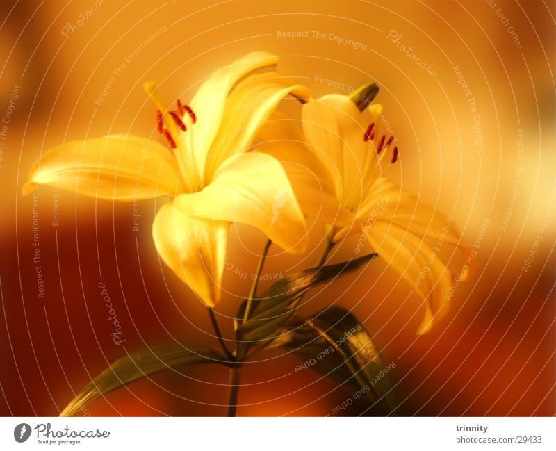 lilies Plant Flower Moody Lily Soft Nature Beautiful Macro (Extreme close-up) Smooth flower decoration Decoration