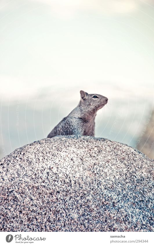 rodents Mountain Hiking Environment Nature Animal Rock Alps Wild animal Pelt 1 Wait Free Natural Speed Rodent Marmot Meerkat Animal portrait Animalistic Freedom