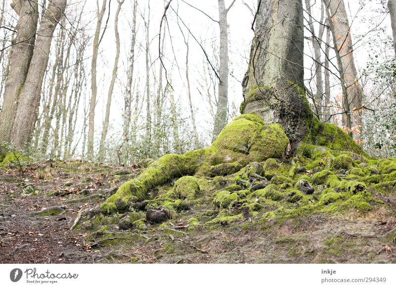 entrenched Environment Nature Landscape Elements Earth Autumn Weather Fog Tree Root formation Deciduous tree Moss Lichen Growth Old Fat Large Green Moody Rooted