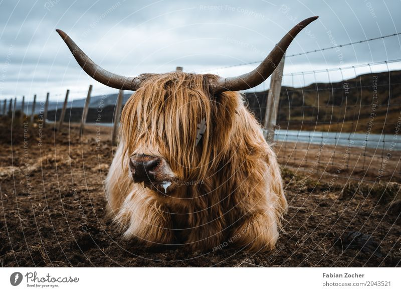 Vacation & Travel Nature Landscape Clouds Animal Spring Exceptional Brown Europe Dirty Lie Cow Camping Scotland Bad weather Farm animal