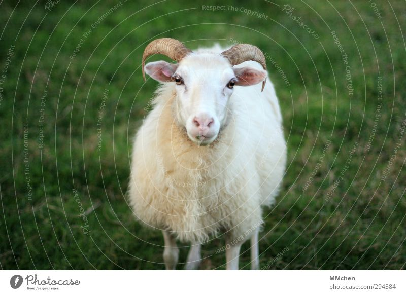 Green White Animal Meadow Stand Observe Agriculture Pelt Trust Sheep Antlers Forestry Livestock breeding Farm animal Survive Love of animals