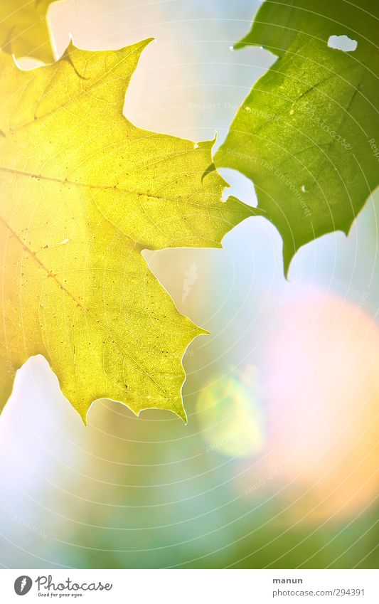 Nature Summer Leaf Yellow Warmth Autumn Spring Bright Natural Beautiful weather Positive Maple leaf