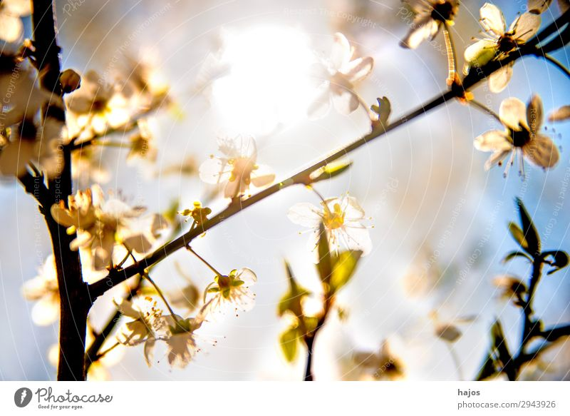 Mirabelle plum blossom in back light Nature Plant Tree Agricultural crop Wild plant Jump Blossom White Yellow plum Back-light Spring Bright Sun Fruit trees