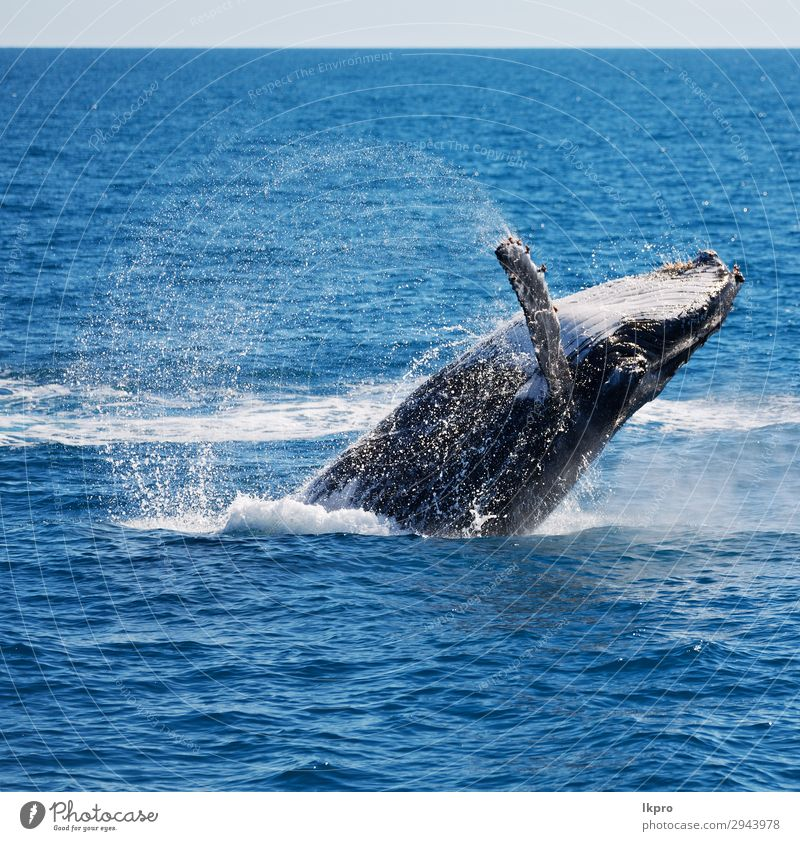 in australia a free whale in the ocean Vacation & Travel Nature Blue Beautiful White Ocean Animal Environment Natural Freedom Wild Jump Island Large Observe