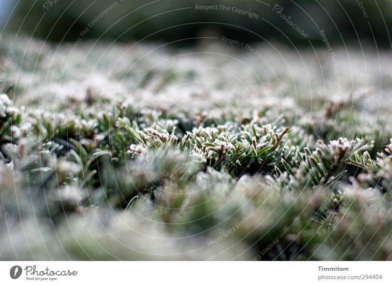 Frost points. Nature Plant Winter Ice Hedge Simple Cold Natural Green White Emotions Frozen Hoar frost Colour photo Subdued colour Exterior shot Close-up