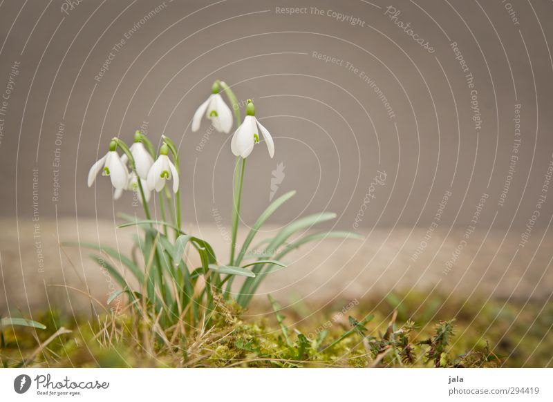 Nature Plant Flower Leaf Environment Spring Blossom Natural Esthetic Moss Spring fever Snowdrop