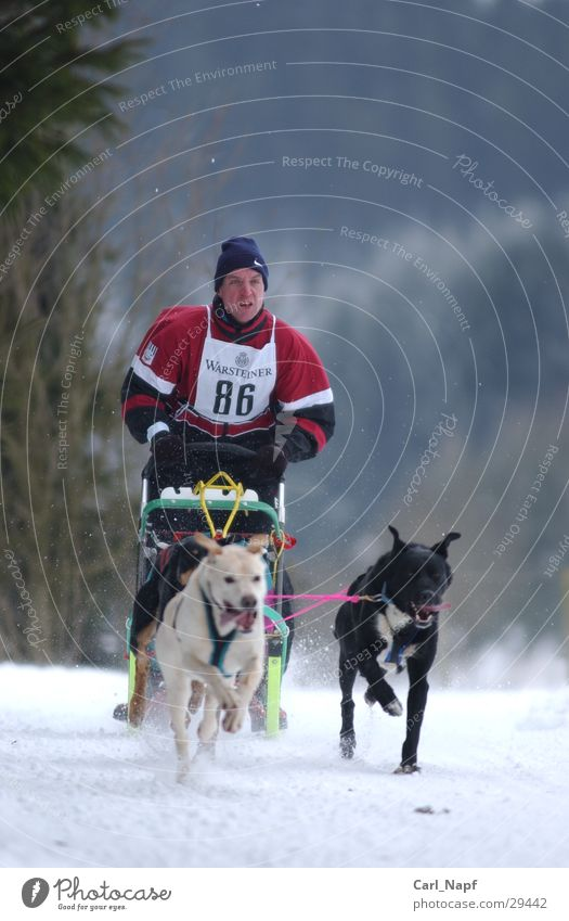 trailblazer Dog Sleigh Husky Animal Sled dog Winter Sports Snow Human being sled Winter sports