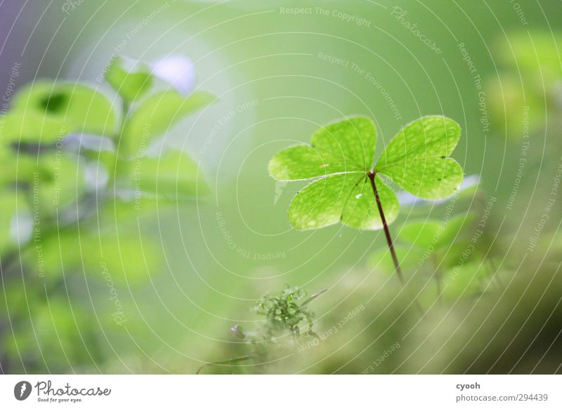 Lucky Clover II Nature Drops of water Spring Summer Plant Moss Forest Illuminate To dry up Growth Dark Fresh Cold Wet New Juicy Blue Green Cloverleaf