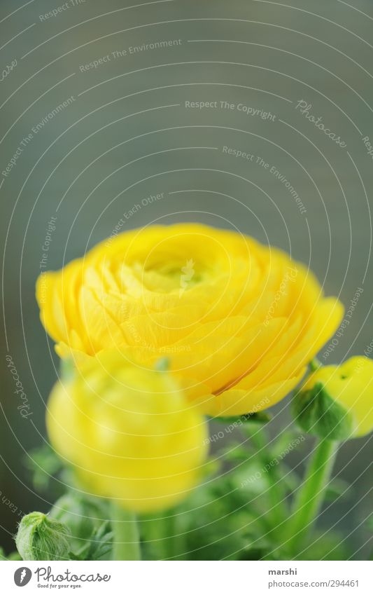 Nature Plant Flower Yellow Spring Blossoming Fragrance Blossom leave Buttercup Globeflower