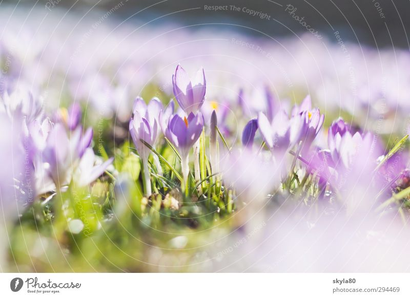 spring fever Meadow flowers croquettes Violet Nature Plant Garden Bud Wake up Fresh Delicate Pastel tone Spring flower Spring crocus Spring day Wild plant Grass