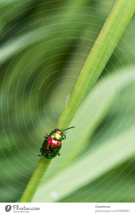 Brilliant ascent Nature Plant Animal Spring Grass Leaf Blade of grass Garden Meadow Beetle leaf beetle Oval-eyed leaf beetles Insect 1 Crawl Beautiful Small