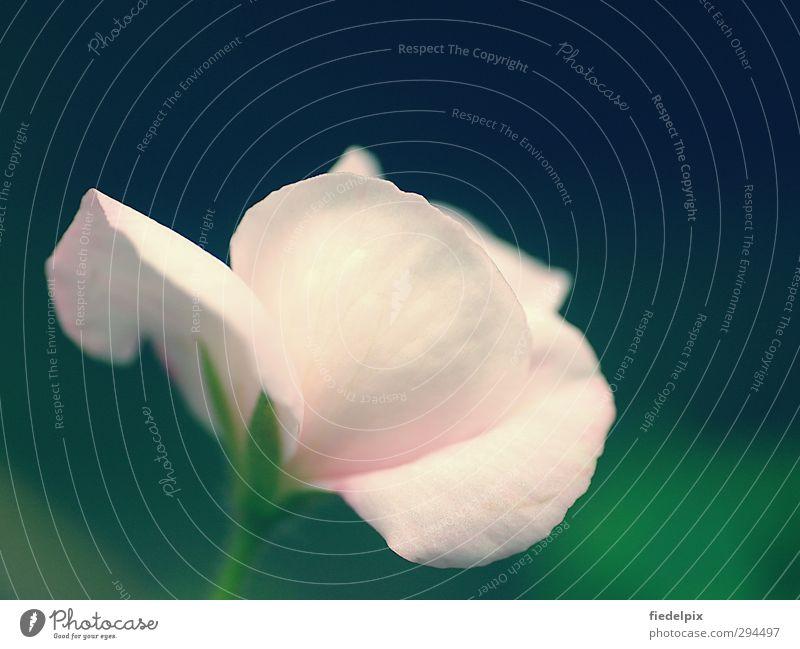 Plant Green Beautiful Summer Flower Blossom Love Garden Moody Bright Pink Idyll Blossoming Romance Rose Fragrance