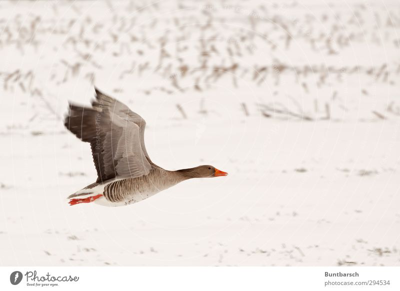 flyby Snow Field Animal Bird Gray lag goose Goose 1 Flying White Colour photo Exterior shot Copy Space right Central perspective Animal portrait Full-length