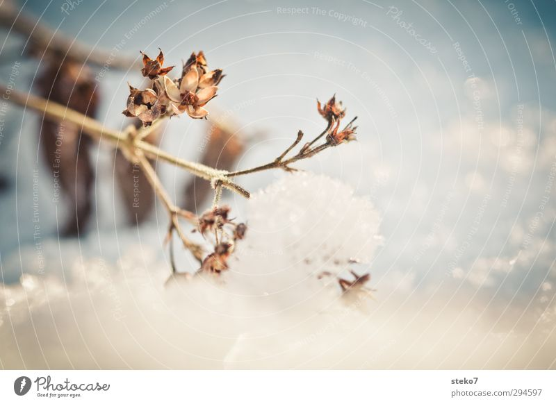 current early flowering picture Winter Landscape Climate change Snow Plant To dry up Old Cold Dry Brown White Survive Transience Change Weight Subdued colour