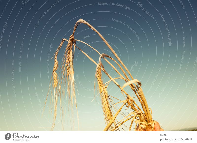 Drum halt´s in ears of corn! Food Grain Organic produce Summer Hand Fingers Environment Nature Plant Sky Beautiful weather Agricultural crop To hold on Growth