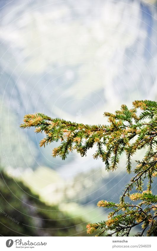 Nature Plant Green Tree Forest Mountain Environment Natural Freedom Wild Growth Branch Alps Fir tree Section of image