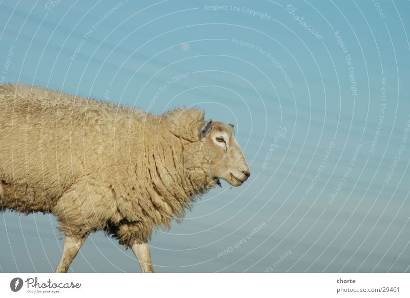 dolly Sheep High voltage power line Dike Animal Wool Sky