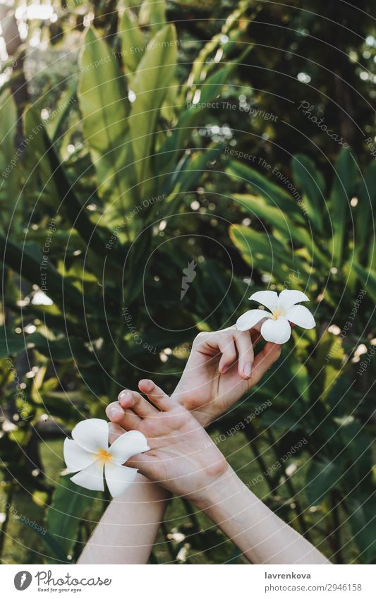 hands holding plumeria flowers in hands in tropical forest Woman Nature Summer Plant Green Hand Flower Leaf Yellow Blossom Spring Grass Garden Fresh