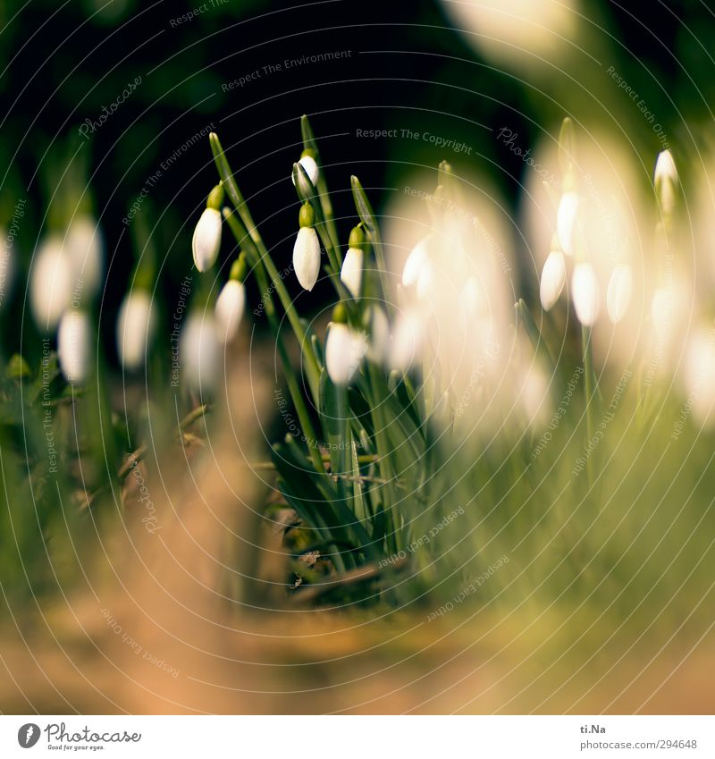 Mrs. Holle won't stop Spring Winter Plant Flower Snowdrop Blossoming Fragrance Natural Wild Spring fever Anticipation Colour photo Exterior shot Close-up