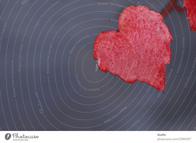 heart and autumn colouring Vine leaf Heart Red Love Romance Sense of Autumn Infatuation romantic Idyll Autumnal November Autumnal colours Heart-shaped