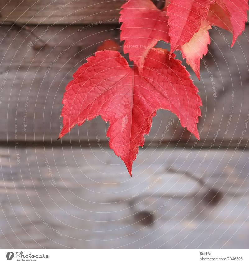 Nature Plant Beautiful Red Leaf Wood Autumn Natural Garden Copy Space Brown Design Decoration Idyll Transience Change