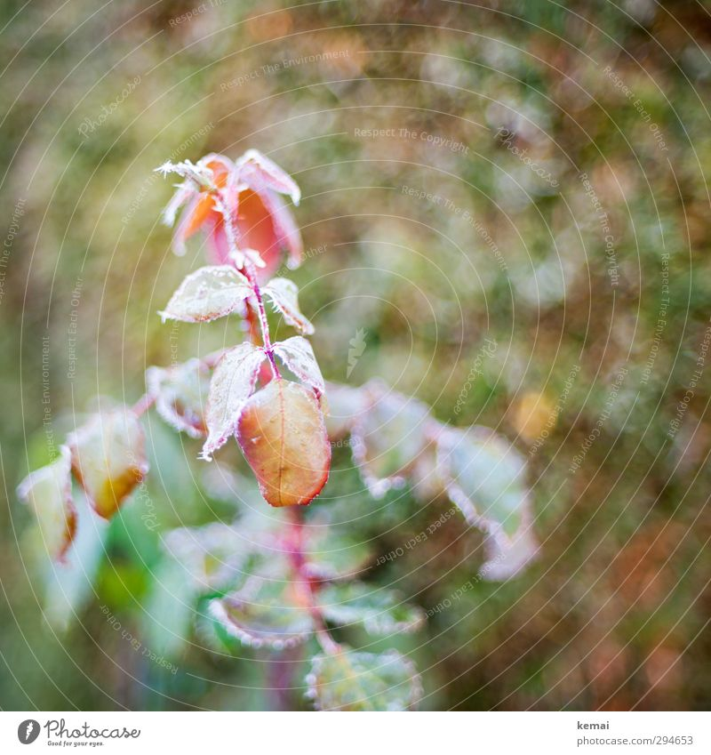ripening period Environment Nature Plant Autumn Winter Ice Frost Rose Leaf Foliage plant Garden Growth Cold Green Red Frozen Hoar frost Colour photo