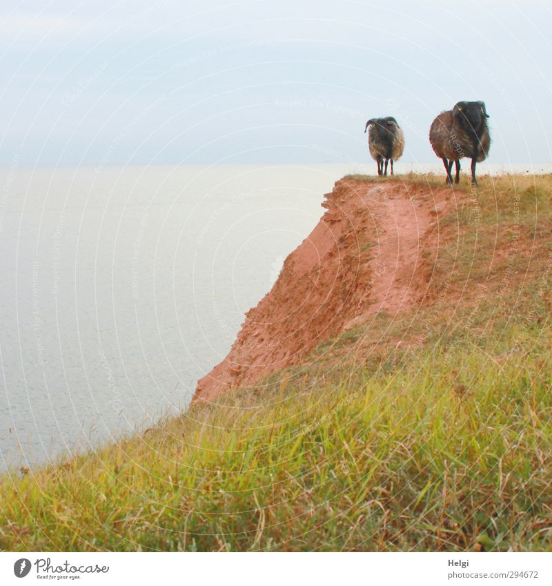 come...we geh´n home! Vacation & Travel Freedom Summer Environment Nature Landscape Sky Grass Meadow Rock Coast Island Helgoland Cliff Animal Farm animal Sheep