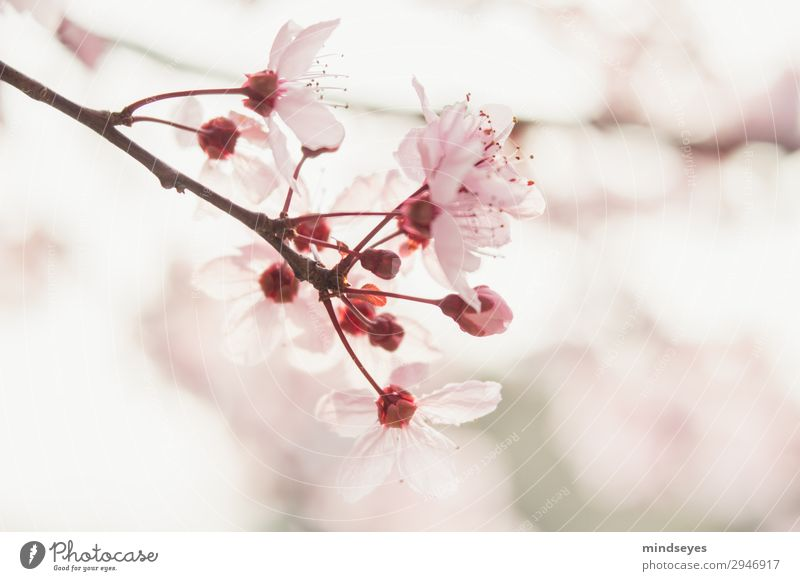 cherry blossoms Nature Plant Spring Cherry blossom Twigs and branches Blossoming Fragrance Growth Esthetic Fresh Bright Natural Pink Spring fever Life Hope